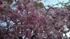 Beautiful pink flowering weeping cherry tree