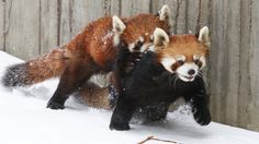 Red pandas playing in the snow is off-the-charts adorable