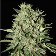 White Widow auto-Fem White Widow is without a doubt one of the strongest and most successful commercialized cannabis strains on…