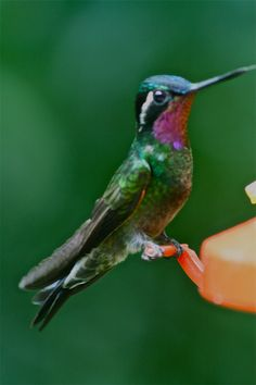 Secret love for humming birds - Costa Rica.