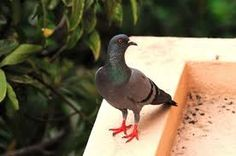 Bird control is essential for those that are considered as pest and harmful for the crops.It means keep away all birds from damages property. Pest Control, Bird, Animals, Animales, Animaux, Birds, Animal, Animais, Bed Bugs Treatment