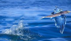 Flying fish can soar high enough that sailors often find them on the decks of their ships.