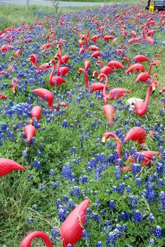 India Ink: Texas Wildflowers: Pink Flamingos