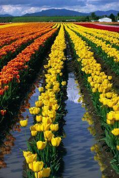 Skagit Valley tulip fields in Mt Vernon, Washington
