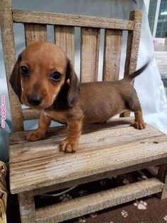 Dachshund Puppies He's a bobble head! - Oh holy cow, the cuteness! Dachshund Puppies, Weenie Dogs, Cute Dogs And Puppies, Baby Dogs, Doggies, Dapple Dachshund, Funny Dachshund, Baby Animals Pictures, Cute Animal Pictures