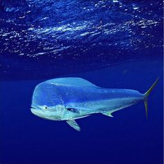 Lampuga o Mahi-Mahi, due nomi per una sola splendida creatura del mare - www.mastrosommerso.it
