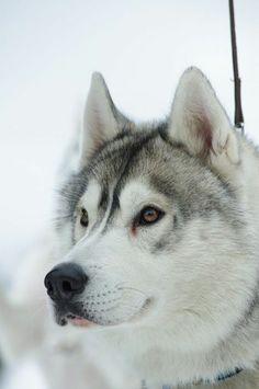 Canadian Husky. Photo: v-Haiduk / O Canada