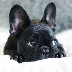Saving hard for one of these bad boys.. #frenchie #frenchbulldog #iwantone