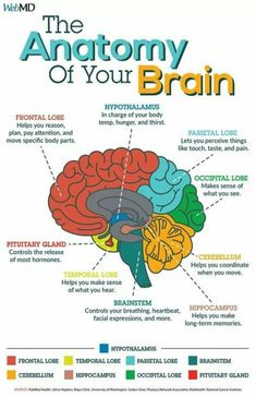 Medical science learning 50 Ideas for 2019 Brain facts Medizin lernen 50 Ideen für 2019 Brain Facts, Nursing School Notes, Human Anatomy And Physiology, Human Brain Anatomy, Anatomy Of The Body, Brain Anatomy And Function, Muscle Anatomy, Medical Anatomy, Brain Science