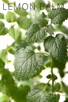 Healing Plants You Can Grow at Home: Lemon balm can be used for hyperacidity (excessive stomach acid) and also acts as a mild anti-depressant and mood elevator.