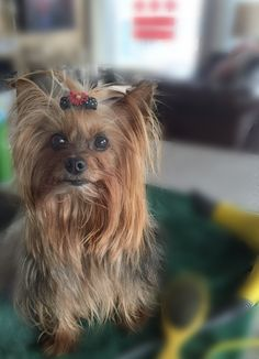 Alice #yorkie #yorkshireterrorist #yorkshireterrier cute but she rules her brothers with an Iron fist! #bosslady got a blowdry xo