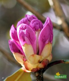Pink Rhododendron Bud Photo Credit: Avijit Sur