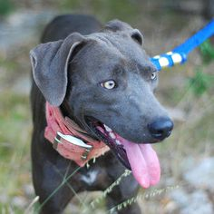 blue lacy dog photo | dog that originated in texas in the mid 19th century the only dog ...