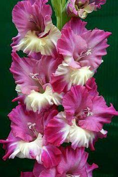 #GardeningTipsManAfraidOfPlants Exotic Flowers, Beautiful Flowers, Gladiolus Flower, Peonies Garden, Spring Blooms, Geraniums, Trees To Plant, Beautiful Gardens, Garden Plants