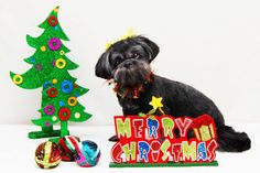Merry Christmas from LoneStar Shih Tzu & Lhasa Apso Rescue