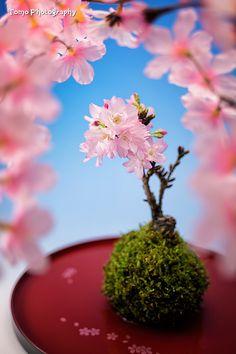 Sakura Bonsai by WindyLife on DeviantArt