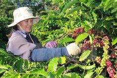 """Giá cà phê hôm nay trên sàn London lại bất ngờ tăng khá mạnh, tạo đà """"thúc"""" giá cà phê hôm nay (13/10) tại Tây Nguyên tăng trở lại. Trong khi đó, giá hồ tiêu hôm nay vẫn lẹt đẹt do nhu cầu thị trường ảm đạm, thậm chí một số nơi đã giảm chỉ còn 77.000 đồng/kg."""