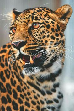 Beautiful leopard.  Credit: Unknown