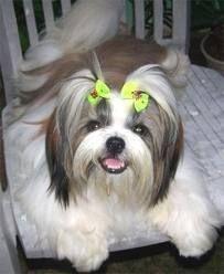 Shi tzu puppy pretty little face