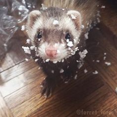 Pet Ferrets @ferret_farm Instagram photos   Websta (Webstagram)