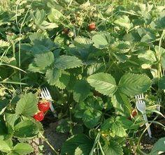 Пластмассовые вилки для выращивания земляники