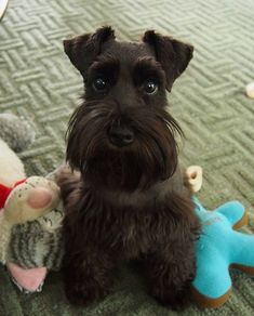 Ranked as one of the most popular dog breeds in the world, the Miniature Schnauzer is a cute little square faced furry coat. Schnauzer Mix, Raza Schnauzer, Black Schnauzer, Schnauzer Grooming, Standard Schnauzer, Giant Schnauzer, Miniature Schnauzer Black, Mini Dogs, Freundlich
