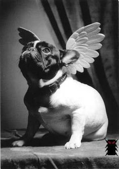French Bulldog : what an Angel ! French Bulldog Art, French Bulldogs, Dog Pictures, Cute Pictures, Boston Terrier, Baby Animals, Cute Animals, Bulldog Puppies, Animation
