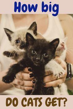 How Big Do Cats Get Kitten Tips Caring For A Kitten Kitten Care Kittens Cutest First Time Kitten Owner Kitten Ideas Kittens Love Love Kittens Cute Kitten In 2020 Katzen
