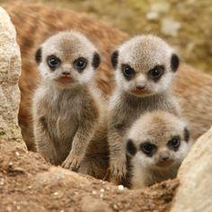 baby meerkats are the best
