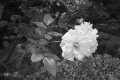 Casa das Rosas. As Rosas
