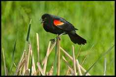 "Visual #VerseoftheDay: Red-winged Black Bird, Eastern Nebraska and Song of Solomon 2:11a, 12 ""See! The winter is past..."" http://visualverse.thecreationspeaks.com/sing/"
