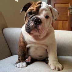 Anyone can be cool, but awesome needs practice. (macho disponível) #Tuckerthebulldog #englishbulldog #Padgram