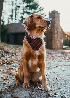Stunning hand crafted golden retriever accessories and jewelery available at Paws Passion Shop! Represent your golden retriever pup with our merchandise! Perros Golden Retriever, Golden Retrievers, Cute Dogs And Puppies, I Love Dogs, Doggies, Yorkie Puppies, Rottweiler Puppies, Dog Photos, Dog Pictures