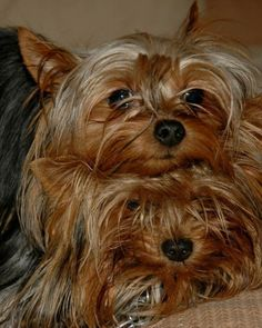 18 Reasons Yorkshire Terriers Are The Worst Dogs To Live With #yorkshireterrier