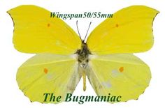 Pieridae : Gonepteryx amintha set 2 - The Bugmaniac INSECTS FOR SALE BUTTERFLIES FOR SALE INSECTS FOR SALE BUTTERFLIES FOR SALE BUTTERFLIES BY ECOZONE ASIAN-AUSTRALASIAN ECOZONE PIERIDAE