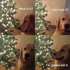 this is my dog. and why 4 days before Christmas not a single present is under the tree.