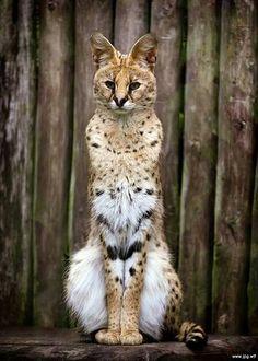 African Wildcat Felis silvestris lybica