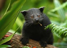 The Binturong (Arctictis binturong), also known as the Asian bearcat, the Palawan bearcat, or simply the bearcat, is a species of the family Viverridae, which includes the civets and genets. It is the only member of its genus. The binturong is neither a bear nor a cat, and the real meaning of the original name has been lost,
