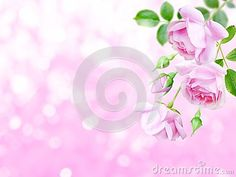 Pale pink antique roses and buds in the corner of the blurred background