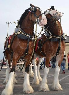 I can't wait to see these beauties at Warm Springs Ranch in Booneville, MO in a few weeks.  I never knew that where they breed the Budweiser Clydesdales.