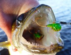 Now that you know why weeds attract walleye, whether it's cabbage, milfoil, or your local variety of pondweed, how do you catch them? Three Tips for How to Catch Walleye in Weeds Obviously fishing … Walleye Fishing Tips, Bass Fishing Tips, Fishing Bait, Gone Fishing, Best Fishing, Saltwater Fishing, Fishing Stuff, Fishing Tricks, Fishing Rods