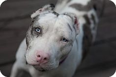 Lawrenceville, GA - Pit Bull Terrier. Meet Bandy, a dog for adoption. http://www.adoptapet.com/pet/16239455-lawrenceville-georgia-pit-bull-terrier