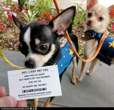 RESCUE - ADOPT ME Card from Anthony Rubio (famous celebrity - fashion designer) for shelter / rescue Chihuahua dogs I Love Dogs, Puppy Love, Cute Dogs, Awesome Dogs, Funny Animals, Cute Animals, Party Animals, Wild Animals, Call Me Maybe
