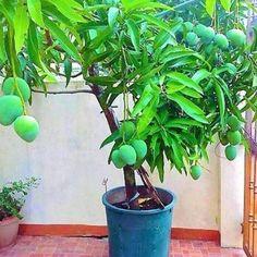 Fruit Plants In Pots In The Small Backyard 06 Potted Fruit Trees, Dwarf Fruit Trees, Growing Fruit Trees, Fruit Plants, Potted Plants, Kitchen Garden Plants, Cashew Tree, Orange Plant, Mango Tree