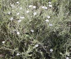 Apache Plume - blooms in summer; 5' tall; sun; dry soil; white flowers followed by fuzzy pink seeds