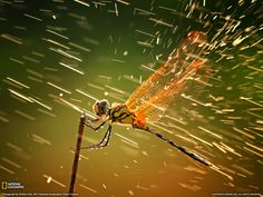 national geographic dragonfly | Dragonfly Picture – Animal Wallpaper - National Geographic Photo of ...