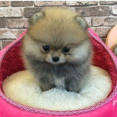 Inquisitive by nature and cute in size, Pomeranians are a true 'toy dog.' Pomeranians are perky and friendly and if you are thinking about getting a p Teacup Puppies, Cute Puppies, Cute Dogs, Dogs And Puppies, Doggies, Cute Dog Pictures, Cute Animal Photos, Funny Animal Pictures, Fluffy Animals