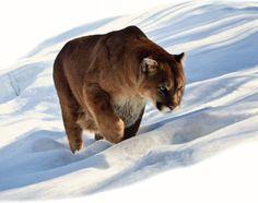Lion walking in snow.