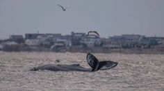 Federal oversight on Beached Whale Protocol. Humpback Whale; Moriches Bay. Long Island,NY.