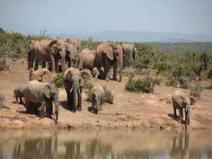 Elephants at The Waterhole, Shamwari Game Reserve